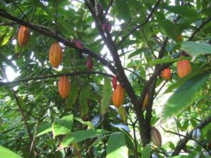 дерево какао с плодами